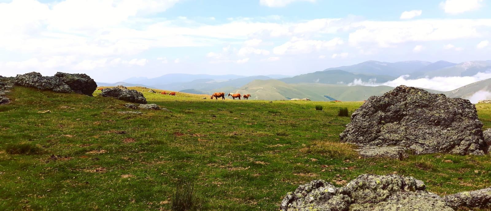 arrivee du brouillardet pottoks sur le sommet okabe - foret iraty - pays basque